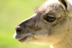 Lama - Porträt Lizenzfreie Stockbilder