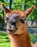 Lama-Porträt Lizenzfreie Stockfotografie