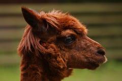Lama Portrait. Close up shot of red lama animal Royalty Free Stock Images