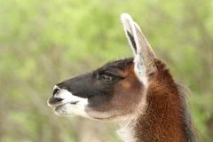 Lama portrait Royalty Free Stock Photography