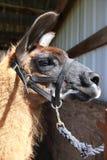 A Lama portrait. Stock Photos