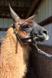 A Lama portrait. Stock Photography