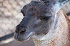 Lama portrait. Lama animal close up portrait Stock Image