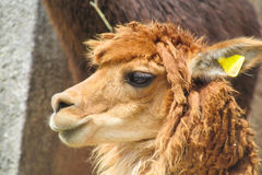 Lama portrait Royalty Free Stock Photography
