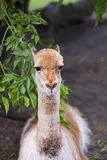 Lama, a portrait. In a clearing Stock Images