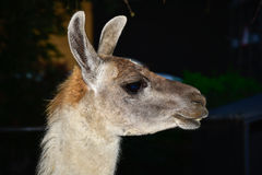 Lama. Portrait close, summer day Royalty Free Stock Photo