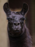 Lama. Portrait of a dark colored lama Stock Images