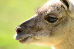 Lama - portrait. With green background Royalty Free Stock Images