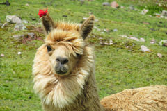 Lama portrait Stock Photo