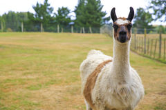 Lama portrait on green natural outdoor background.  Royalty Free Stock Photo