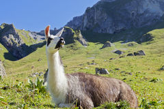 Lama portrait. Lama beside hiking track in Tannheim / Austria Stock Image