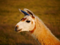 Lama. Portrait of a lama in its natural environement royalty free stock images