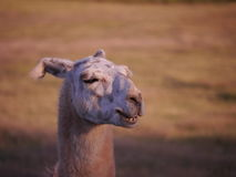 Lama Royalty Free Stock Photography