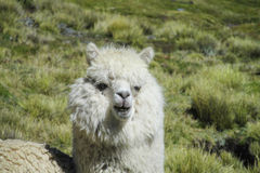 Lama portrait. The llama, lama and alpaca domesticated South American camelid animals on the green meadow in the Andes mountains. Furry llama on green meadow Stock Images