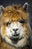Lama... Royalty Free Stock Images