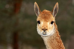 Lama Stock Photo