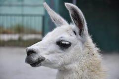 Lama portrait. Alpaca. Face of lama. Closeup alpaca head. White pet on the farm Royalty Free Stock Photo