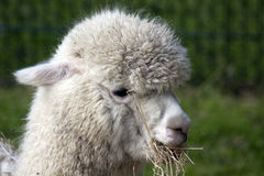 Lama portrait photo. White woolly lama with grass in its mouth Royalty Free Stock Photo