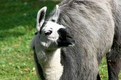 Lama. A portrait shot of a trusting Lama Royalty Free Stock Photos