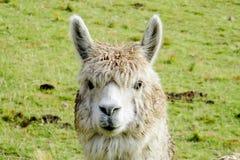 Lama portrait Stock Images