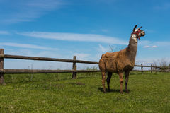 Lama posing in front of the wooden fence Royalty Free Stock Photography