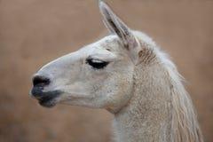 Lama-Profil lizenzfreie stockfotografie
