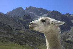 Lama profile and Pyrenees Mountains. Profile of a white lama in Pyrenees Mountains in the vicinity of Col du Tourmalet which is an important stage of Tour de Stock Image