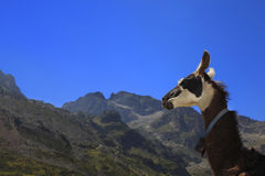 Lama profile and Pyrenees Mountains. Profile of a lama in Pyrenees Mountains in the vicinity of Col du Tourmalet which is an important stage of Tour de France Stock Photos