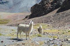 Lama przy altiplano Zdjęcie Royalty Free