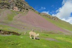 Lama przy altiplano Zdjęcie Stock