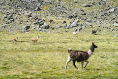 Lama przy altiplano Fotografia Royalty Free