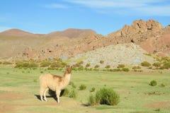 Lama przy altiplano Obraz Royalty Free