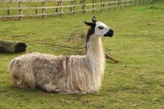 Lama przy Banham zoo obraz royalty free