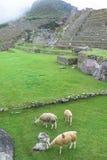 Lama przy Mach Picchu w Peru Obraz Stock
