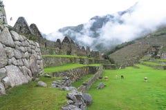 Lama przy Mach Picchu w Peru Zdjęcie Stock