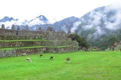 Lama przy Mach Picchu w Peru Zdjęcie Royalty Free