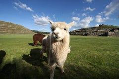Lama Przy Saqsaywaman ruiną, Peru Zdjęcie Royalty Free