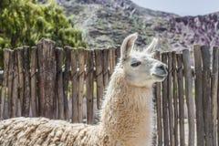 Lama in Purmamarca, Jujuy, Argentina. Fotografie Stock Libere da Diritti