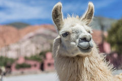 Lama in Purmamarca, Jujuy, Argentina. Immagine Stock