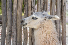 Lama in Purmamarca, Jujuy, Argentina Fotografie Stock