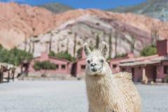 Lama in Purmamarca, Jujuy, Argentina Immagini Stock