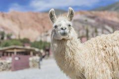Lama in Purmamarca, Jujuy, Argentina Fotografia Stock