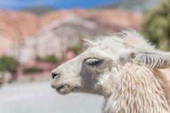 Lama in Purmamarca, Jujuy, Argentina Immagine Stock Libera da Diritti