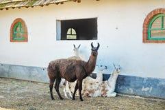 Lama quatro na exploração agrícola imagem de stock royalty free
