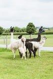 Lama quattro sull'azienda agricola nel paese di Amish Fotografia Stock Libera da Diritti