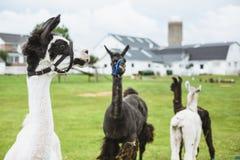 Lama quattro sull'azienda agricola nel paese di Amish Fotografie Stock