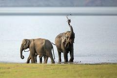 Lama que banha o elefante Fotos de Stock