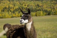 Lama que come a grama Imagem de Stock Royalty Free