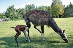 Lama in Quebec. Canada, north America. Lama in Quebec. Canada north America royalty free stock photography
