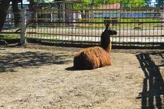 Lama in recinto chiuso Fotografia Stock